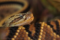 neo tropical rattle snake, costa rica, photo