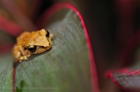 tink frog, costa rica photo