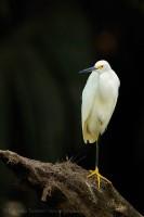 Birds of Costa Rica, tortuguero photo