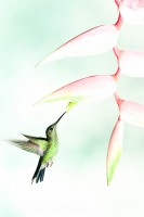 GREEN CROWNED BRILLIANT at HELICONIA, prints photo