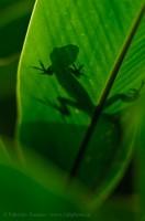 green anole lizard,costa rica