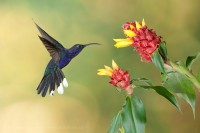VIOLET SABREWING at COSTUS FLOWER, note cards,  photo