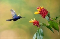 Hummingbirds of Costa Rica photo