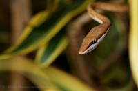 brown vine snake, costa rica,