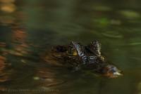 Spectacled caimen, costa rica, tortuguero,