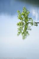 Tree reflection in Medicine lake,Jasper National Park, Alberta, Canada photo