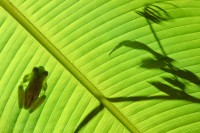 emerald glass frog, costa rica