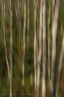 Aspen trees ,Mactaggart  Sanctuary, Edmonton, Alberta, Canada photo