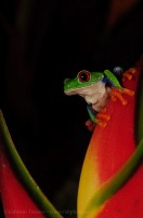 ROGER the RED-EYED TREE FROG, prints photo