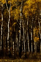 Aspens in Fall, Jasper National Park photo