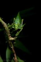 katydid,tenorio volcano, costa rica photo