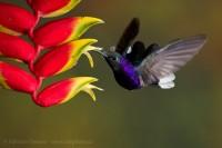 Bajos del toro, bosque de paz, Costa Rica,violet sabrewing photo
