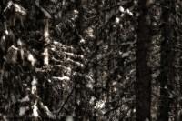Banff, National, Park, Alberta, Canada, Spruce trees photo