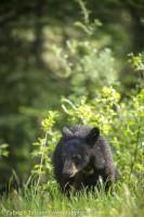 Black Bear Cub in Jasper National Park, Alberta, Canada. photo
