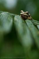 Sarapiqui, masked tree frog, Costa Rica photo