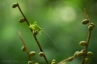 katydid, sarapiqui, costa rica photo