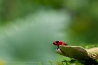 Sarapiqui, Costa Rica, strawberry poison frog photo