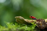 Sarapiqui, Costa Rica, strawberry poison frog,  photo