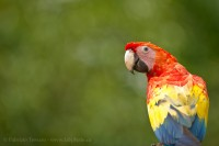 Costa Rica, scarlet macaw photo