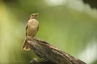 Costa Rica, Clay Coloured Thrush, photo