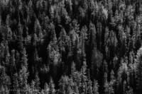 Jasper National Park, Alberta, Canada, trees photo