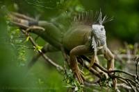 Costa Rica, green iguana photo