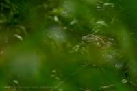 green iguana, Arenal Volcano National Park, Costa Rica photo