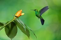 Bajos del Toro,Costa Rica,green crowned brilliant photo