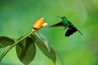 green crowned brilliant hummingbird, costa rica photo