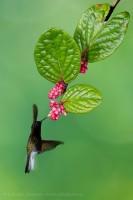 black bellied hummingbird,costa rica photo