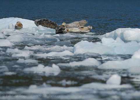 HARBOUR SEALS on ICE
