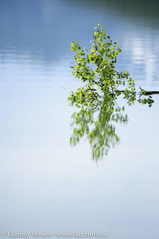 Tree reflection in Medicine lake,Jasper National Park, Alberta, Canada