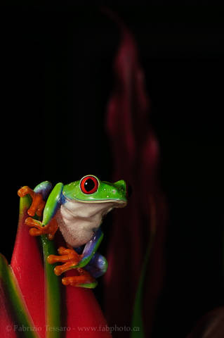 ROGER the RED-EYED TREE FROG