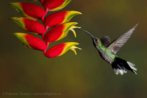 FEMALE VIOLET SABREWING at HELICONIA