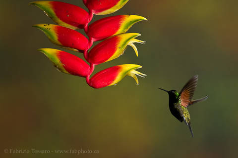 BLACK BELLIED HUMMINGBIRD at HELICONIA