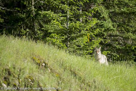 Coyote in Jasper National Park, Alberta, Canada.