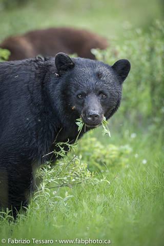 Black Bear in Jasper National Park, Alberta, Canada