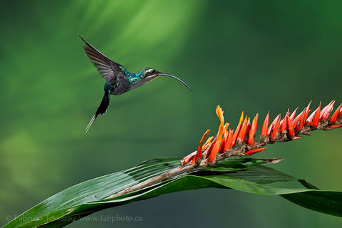 GREEN HERMIT at HELICONIA FLOWER