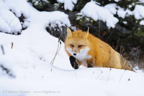 Jasper National Park, Alberta Canada, red fox