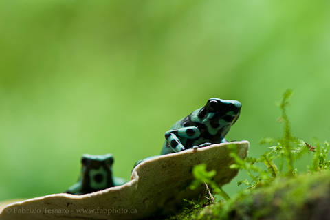 BLACK and GREEN POISON FROGS