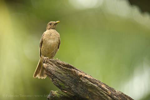 CLAY COLOURED THRUSH