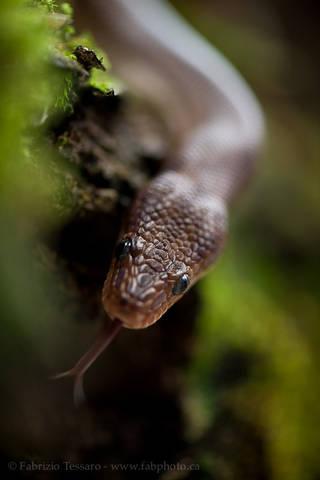 costa rica, snake, non-venomous, reptile