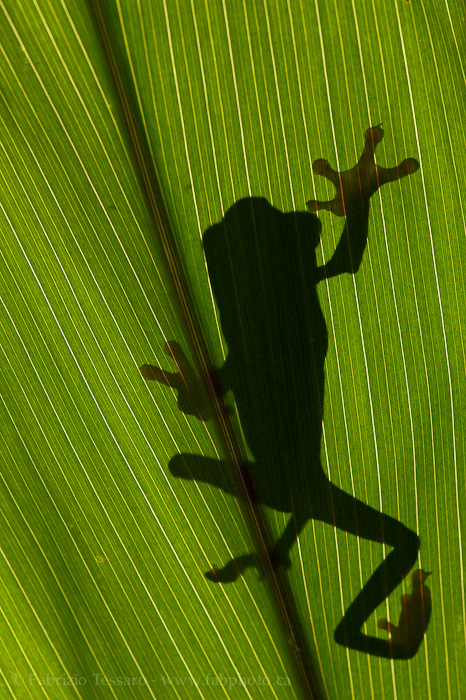 ROGER the RED-EYED TREE FROG photo