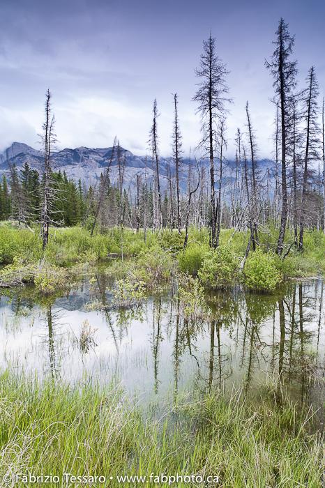 Prescribed burn tress in Jasper National Park, Alberta, Canada. photo