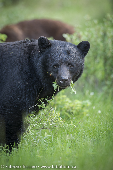 Black Bear in Jasper National Park, Alberta, Canada photo