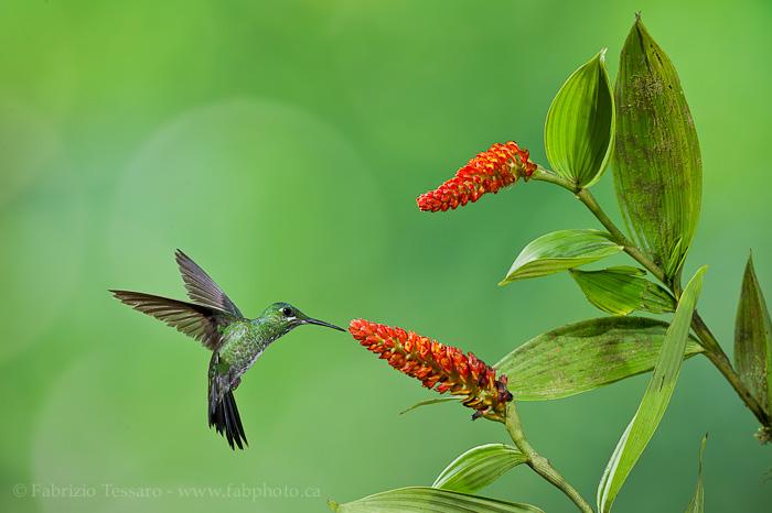 Green crowned brilliant hummingbird photo