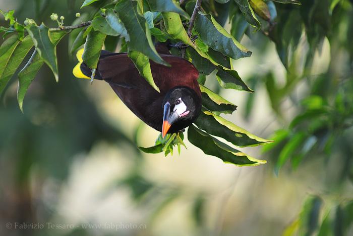 Birds of Costa Rica, Arenal Volcano National Park , photo