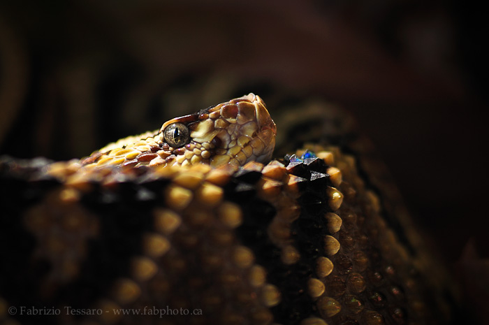 neo tropical rattlesnake, costa rica, photo