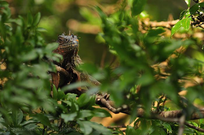 green iguana, costa rica, photo