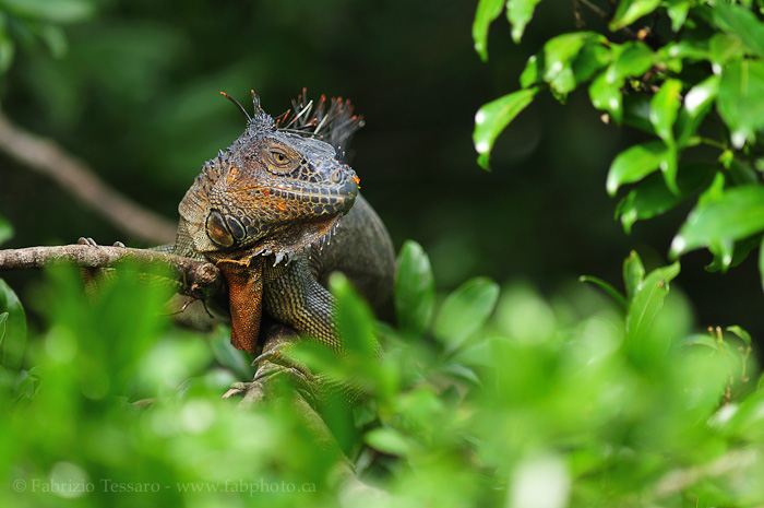 green iguana,costa rica, photo